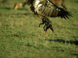 Black-Backed Jackal  Attacking White-Backed Vulture  Kenya