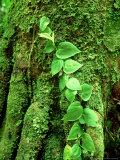 Climbing Vine on Stilt Palm  Amazonian Peru