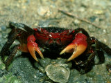 Red Claw Crab  Cardisoma Carnifex