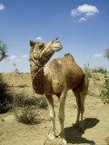 Domestic Camel  Thar Desert  India