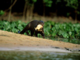 Giant Otter  with Piranha  Brazil