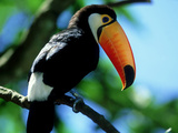 Toco Toucan  Iguacu National Park  Brazil