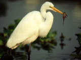 Great Egret  with Fish  Mato Grosso  Brazil