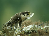 Peregrine Falcon  Adult Plucking Pigeon  Scotland