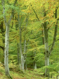 Beech Woodland in Autumn  Strathspey  UK