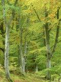 Beech Woodland in Autumn  Strathspey  UK