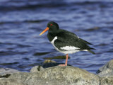 Oystercatcher  Adult Standing on Rock  Scotland