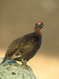 Red Grouse  Lagopus Lagopus Scoticus Adult Male Perched on Rock Grampian  Scotland