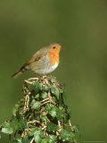 Robin  Adult Perched on Ivy Covered Stump  UK