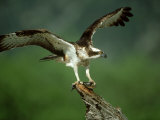 Osprey  Pandion Haliaetus Male on Branch with Fish Scotland  UK