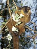 Collared Lemur  Male Feeding on Dogwood  Dupc