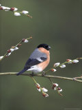 Bullfinch  Male Perched on Pussy Willow  UK