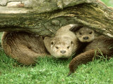 European Otter  Lutra Lutra Male & Cub Under Log on Bank