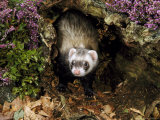 Polecatmustela Putoriusemerging from Hollow Logcaptive