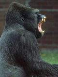 Lowland Gorilla Male Yawning, Showing Teeth Papier Photo par Mark Hamblin
