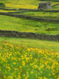 Buttercups  Dry Stone Walls & Field Barn