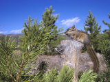 Least Chipmunk on Small Log Showing Habitat  Wyoming  USA