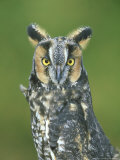 Long-Eared Owl  Asio Otus  Close-up Portrait  USA