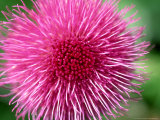 Melancholy Thistle  Cirsium Heleniodes Close-up of Flower Highlands  Scotland