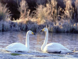 Whooper Swan Pair on Edge of Frosty Pool  UK