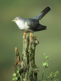 Cuckoo  Cuculus Canorus Male Perched on Post Derbyshire  UK