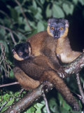 Collared Lemur  Infant Male on Mother  Dupc