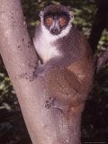 Mongoose Lemur  Female