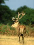 Red Deer  Cervus Elaphus Stag on Edge of Woodland Autumn UK