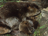 Canadian Beaver  Castor Canadensis Female with Young