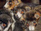 Mongoose Lemur  Males and Females  Dupc