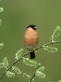 Bullfinch  Pyrrhula Pyrrhula Male on Willow Yorkshire  UK
