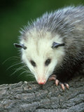 Opossum  Didelphis Marsuplalis Close-up Portrait