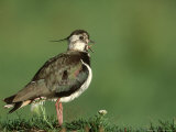 Lapwing  Adult on Grassy Hummock Scotland  UK