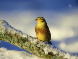 Yellowhammer  Emberiza Citrinella Male Perched on Branch Strathspey  Scotland