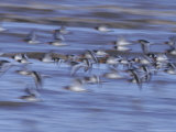 Oystercatchers  Flock in Flight  UK
