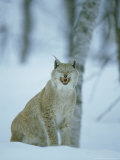 European Lynx  Felis Lynx Female Yawning Norway