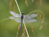 Black Darter  Adult on Grass Stem  Scotland