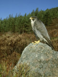 Peregrine Falcon  Falco Peregrinus Male Perched on Rock St Rathspey  UK