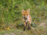 Red Fox  Cub  UK