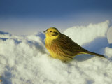 Yellowhammer  Emberiza Citrinella Male Perched in Snow Str Athspey  Scotland