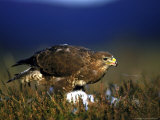 Common Buzzard  Feeding on Ground Highlands