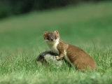 Stoat  Adult on Rock in Meadow