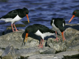 Oystercatcher  Pair Displaying on Rock  Scotland