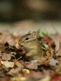 Eastern Chipmunk  Amongst Autumn Leaves  USA