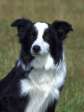 Border Collie  Portrait of Nine Month-Old Dog