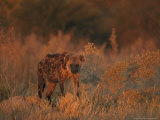 Spotted Hyena  Adult in Dawn Light  Southern Africa