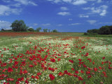 Common Poppy  and Oxeye Daisy  Scotland