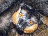 Collared Lemur  Adult  Dupc