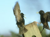 Starling  Sturnus Vulgaris  Two Birds Flying  S Yorks