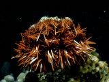 Sea Urchin  SJapan